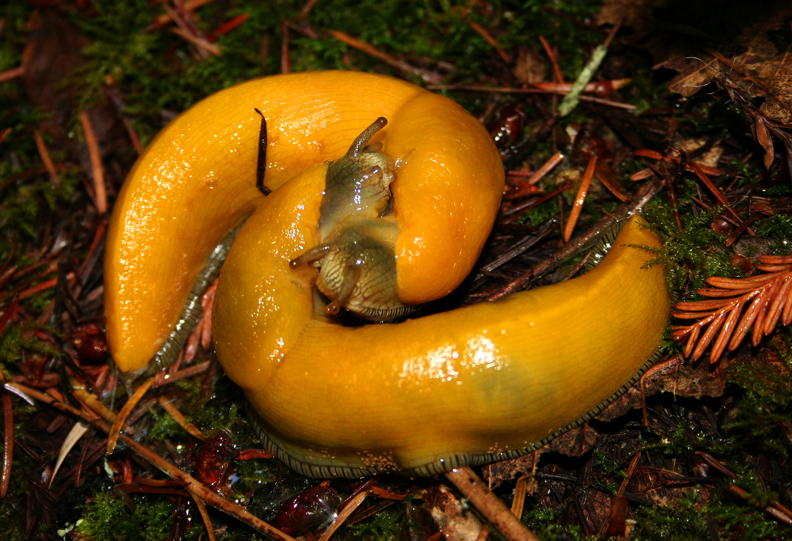 [Image: Banana_slugs_mating.jpg]